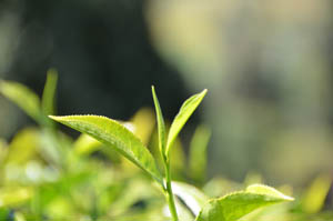 Tea Leaf from the tea bush